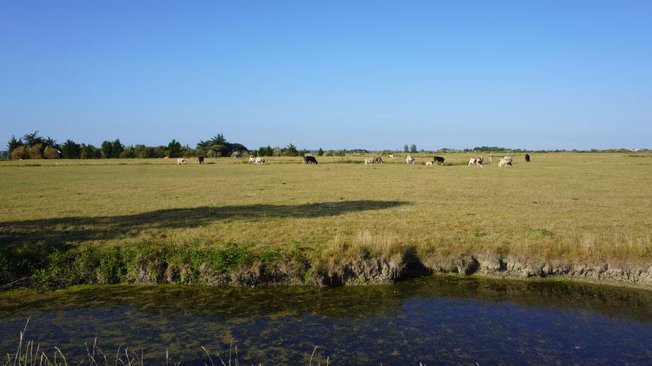 Marschlandschaft - ein paar Kühe haben immer Platz