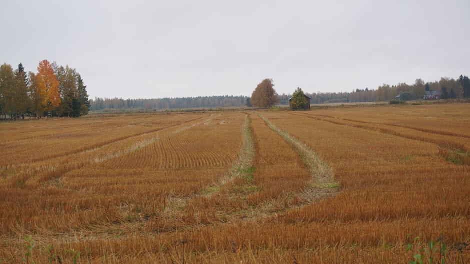 Ein nasses Getreidefeld - rötlich statt golden ...