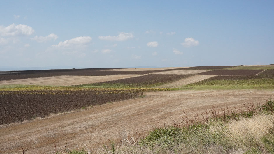 Getreide und Sonnenblumen - etwas anderes wächst in der trockenen Landschaft nicht