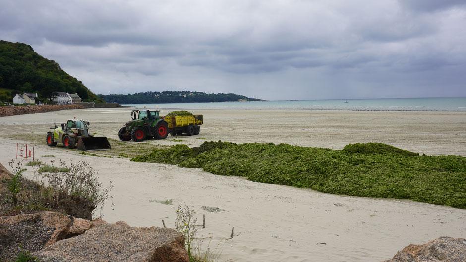 Grünalgenplage - Strandreinigung in großem Stil