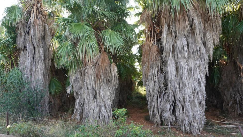 Mit unrasierten Beinen schauen die Palmen etwas rustikal aus ...