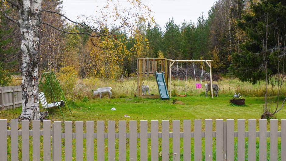 Rentierbesuch am Spielplatz vor dem Haus