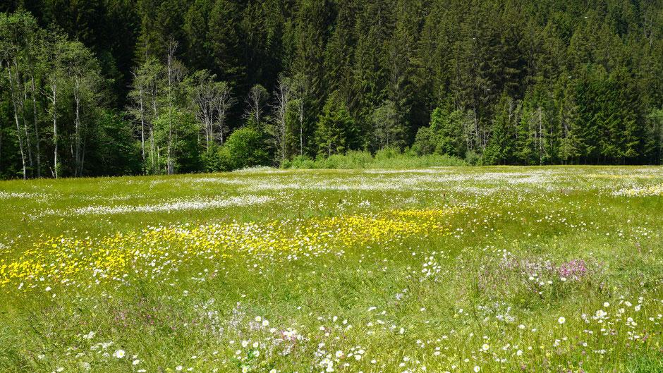 Blumenwiese im Montafon - zum Reinliegen und Löcher in den blauen Himmel schauen