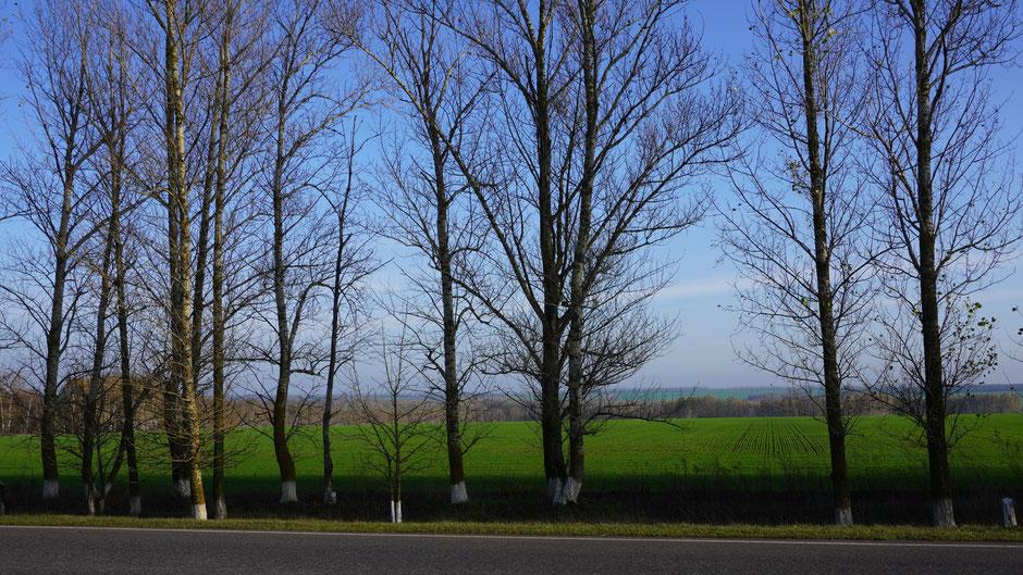 Alleebäume ziehen vor dem Grün vorbei