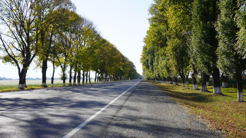 Alleebäume säumen die Straße kilometerweit