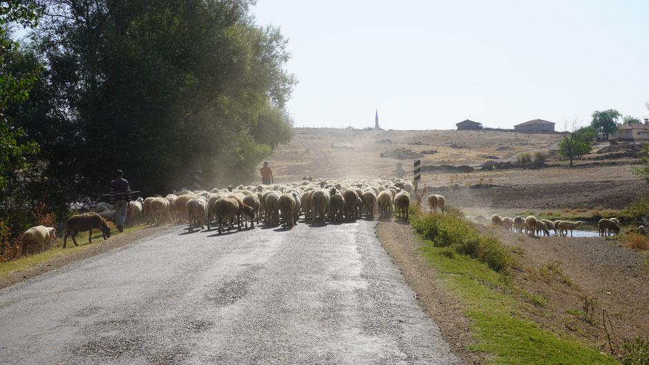 Schafe haben Vorrang