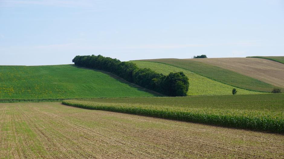 Feine Hügel im nördlichen Weinviertel - ein Heckenwurm quert grad rüber ..