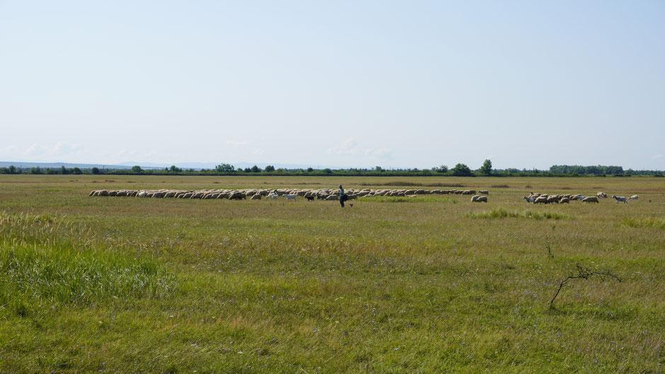 Solche Schafherden sind oft zu sehen, und immer auch mit einem Schäfer