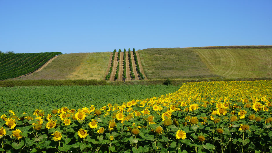 Geradeaus, einfach über den Hügel hoch den Weinreben entlang ...