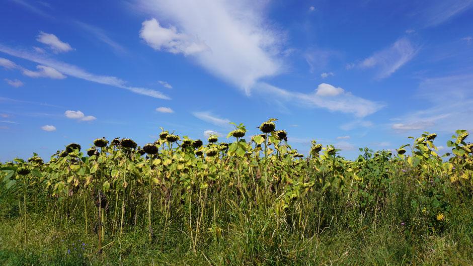 Wolkenspiel und Sonnenblumen