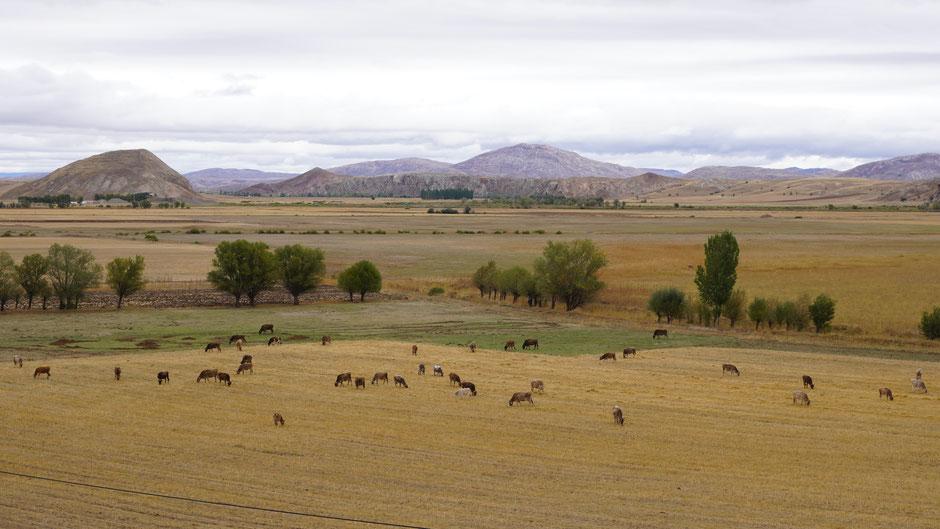Großes Land, große Herden, zumindest die eine hier