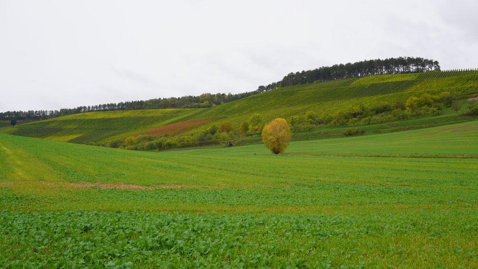 Etwas Gelb inmitten der grünen Äcker und Weinberge