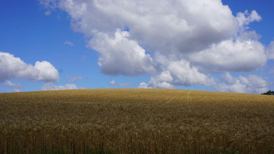 Das Getreide wächst fast bis zum Himmel