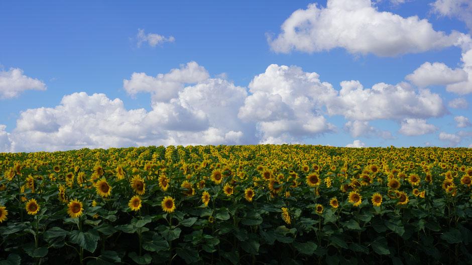 Sonnenblumen, formatfüllend ...