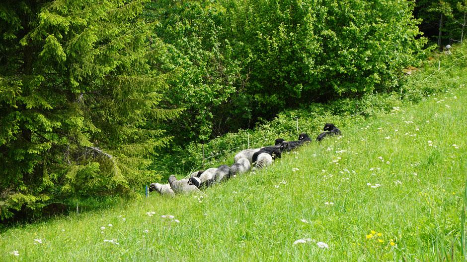 Tiroler Steinschafe im frischen Grün