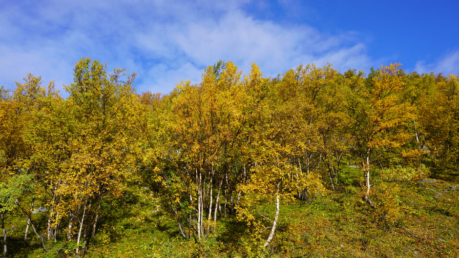 Herbstgold in nordischer Birke