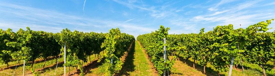 Weinreben eines Weinguts in Rheinhessen