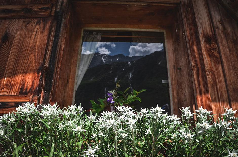 Edelweiß bei der Hohenaualm, das Klein Tibet des Zillertals