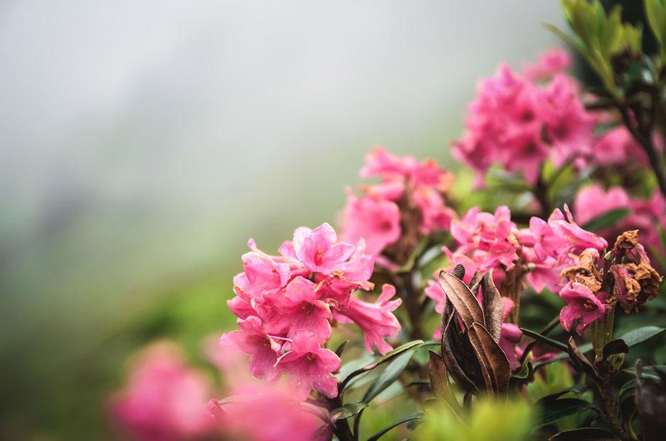 Almrosen - die schönste Bergblume Tirols