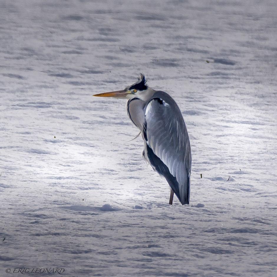 Photo animalière, Le plaisir photographique, Léonard Eric. Héron dans la neige.