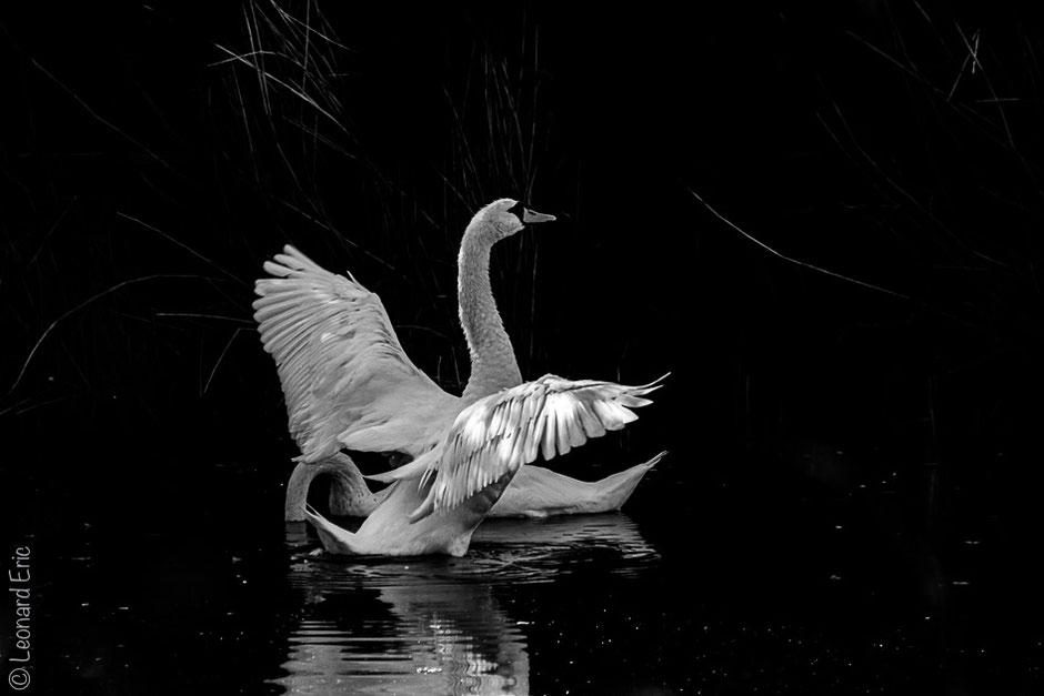 Photo animalière, Le plaisir photographique, Léonard Eric, Majestueux le Prince.