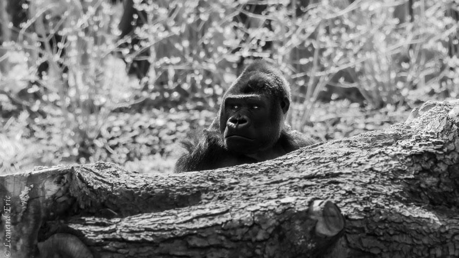 Photo animalière, Le plaisir photographique, Léonard Eric, Le gorille