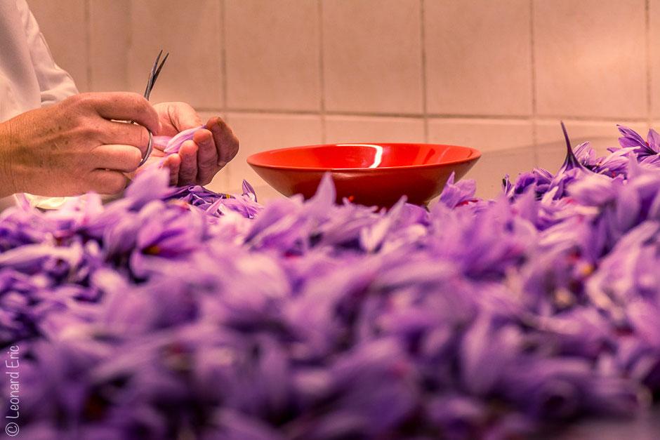 Photo Léonard Eric L'émondage du safran, elle se fait après la récolte des fleurs de safran.