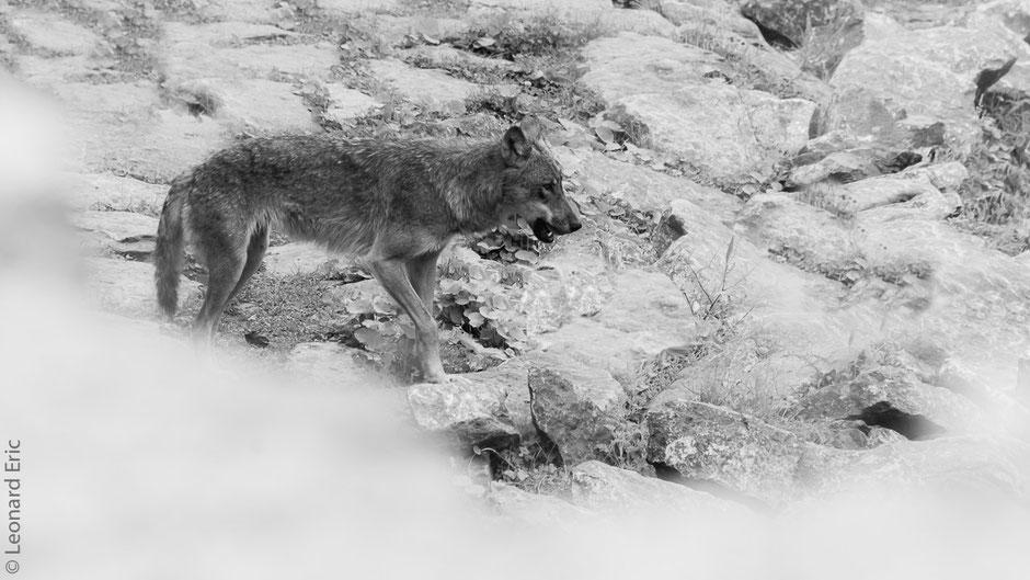 Photo animalière, Le plaisir photographique, Léonard Eric, Le loup.