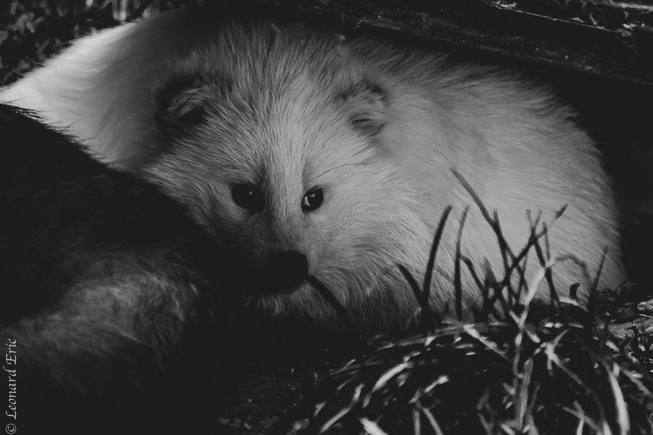 Photo animalière, Le plaisir photographique, Léonard Eric, chien viverin