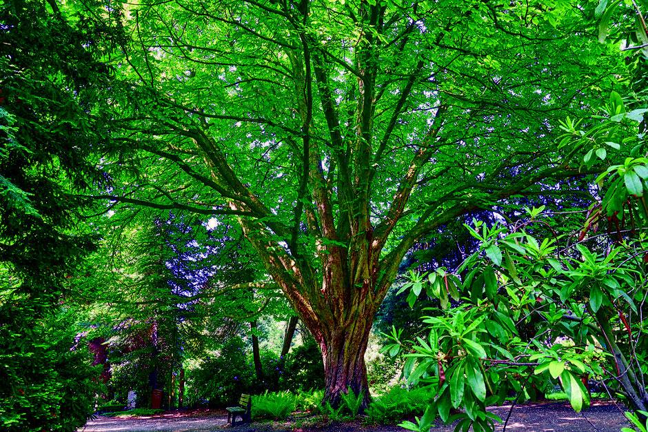 Baum Friedhof Schiffbek