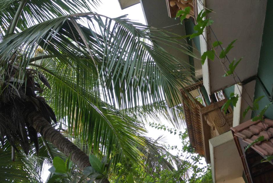 ホスピタルの敷地内はヤシやバナナ、そして様々な薬用植物他多様な植物が沢山育てられています。