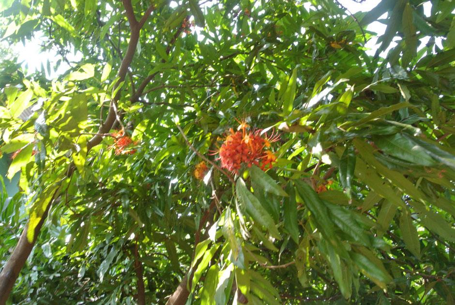 庭には多様な植物が植えられています。こちらは仏教三大聖樹アショーカ(和名 無憂樹)の花。