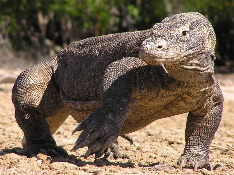 Imposante Komodo varaan op Komodo bij de kleine Sunda eilanden