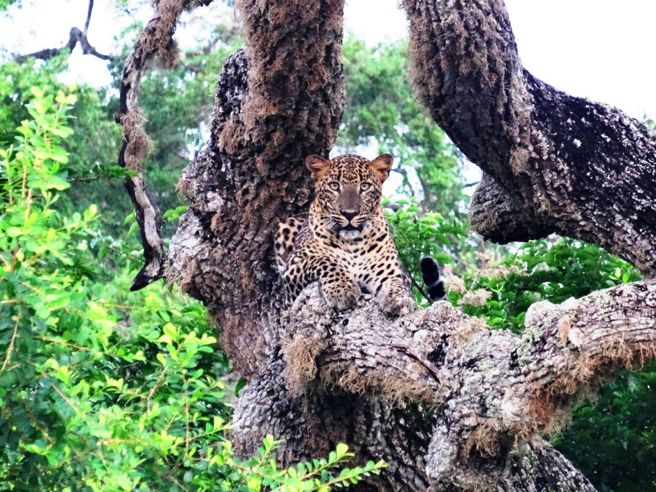 Uniek luipaard in het Yala National Park in Sri Lanka