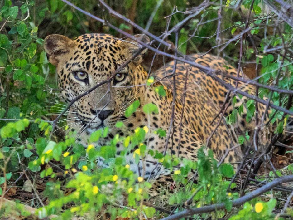 Luipaard in het Yala National Park