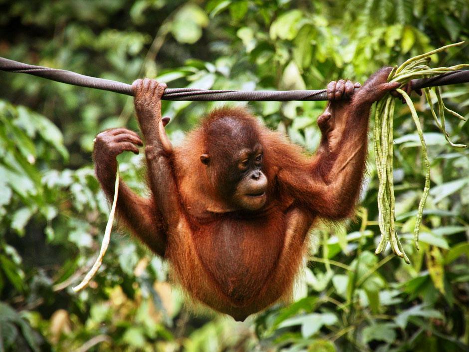 Prachtige orang-oetang in de jungle van Bukit Lawang op Sumatra