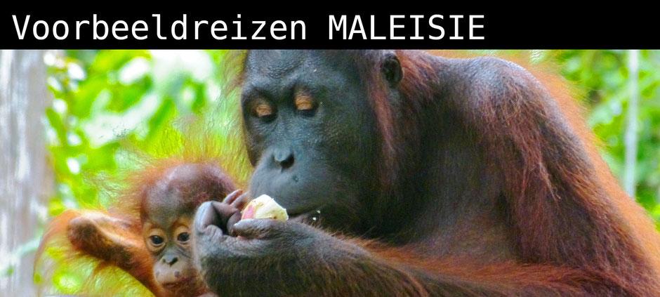 Moeder en dochter orang oetan in Sepilok in Sabah op Maleisisch Borneo