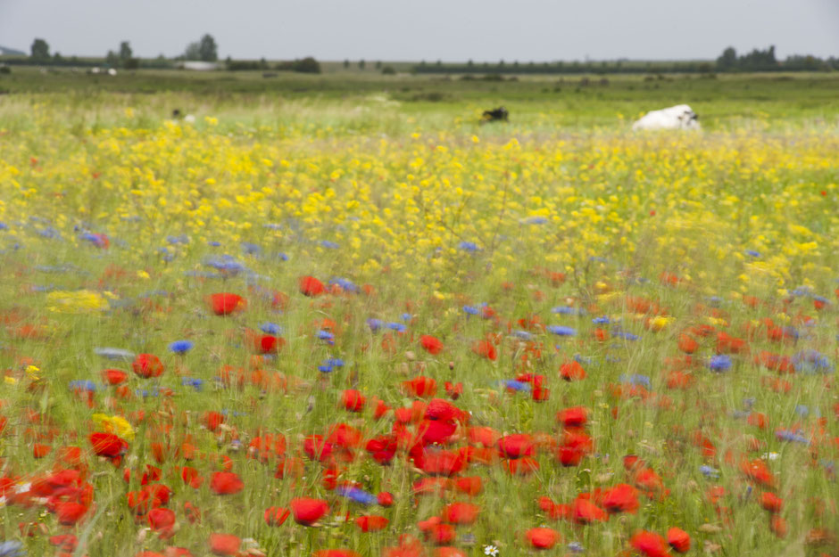 In juni waan je je in de Yerseke Moer in een schilderij van Monet | © TekstEnPlaat.nl Jan-Kees de Meester