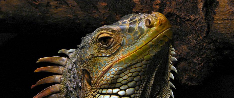 Iguanas vs Serpientes La escena mejor filmada de la historia de los documentales