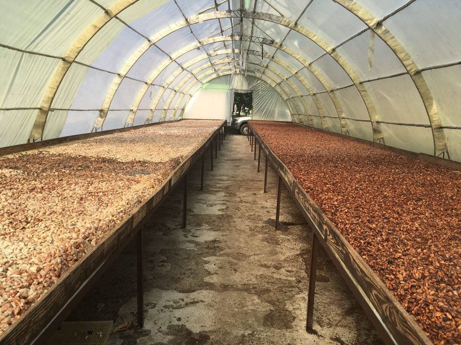 Cocoa beans drying in a greenhouse, Conacado, Dominican Republic (Laura Henry, 2019)