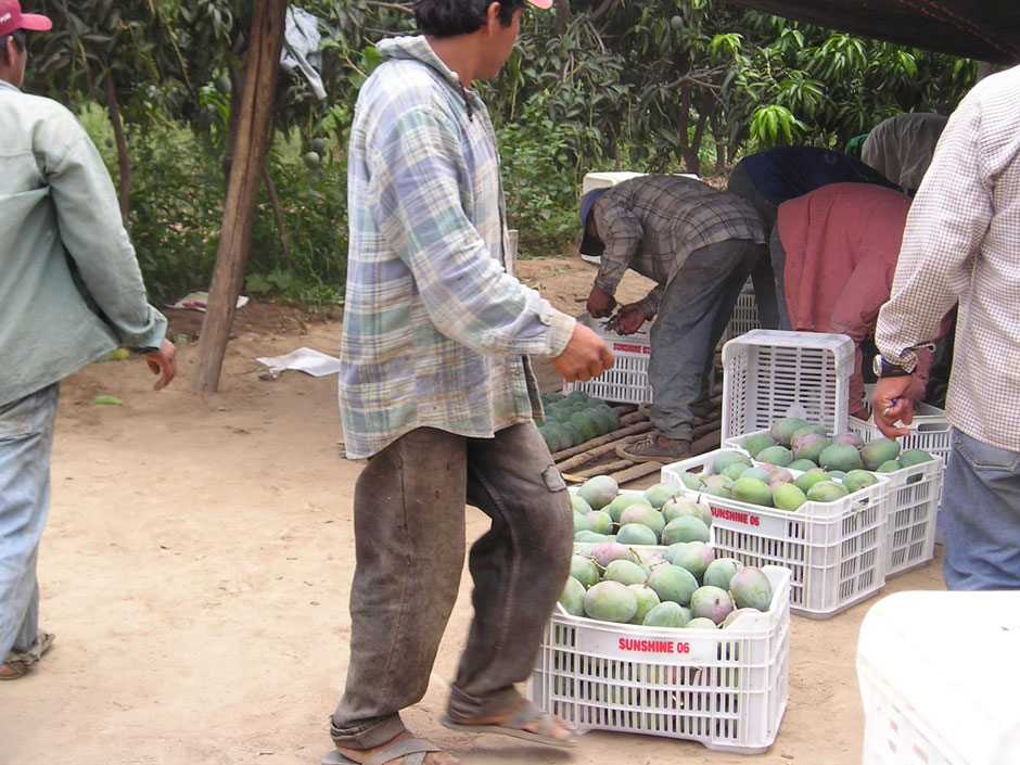 Photo 6: Temporary workers are hired in preorganized groups for the harvesting of fruits on agricultural lands. (@Evelyne Mesclier, March 2006)