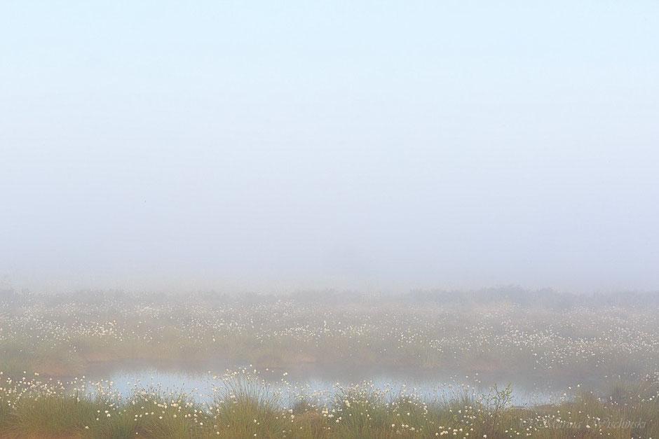 Wollgras im Nebel