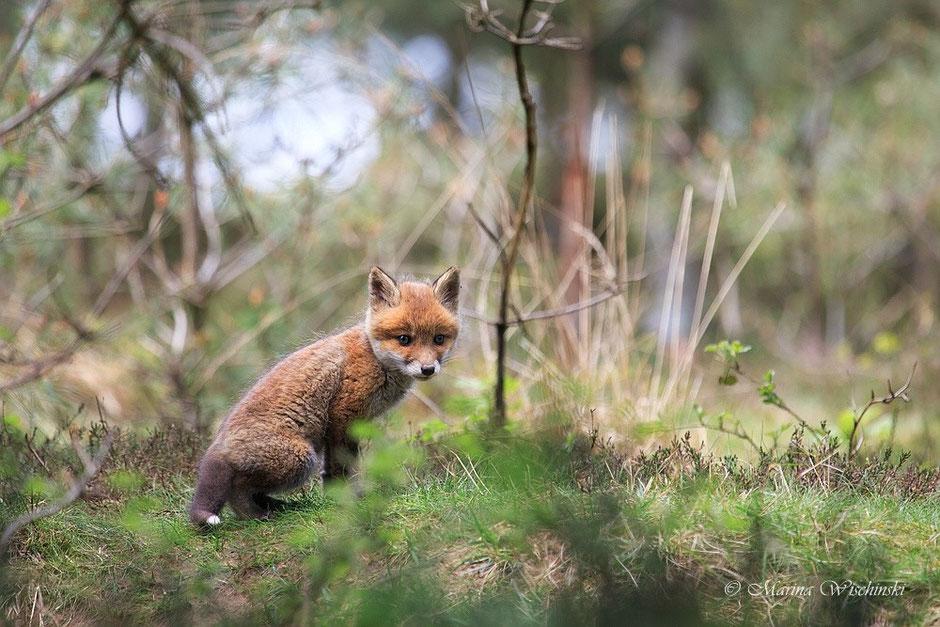 Fuchswelpe (Vulpes vulpes)
