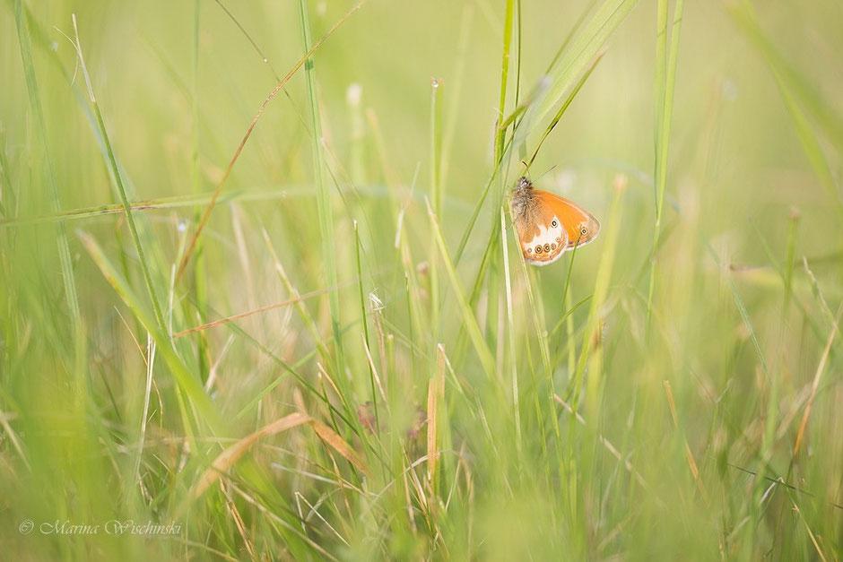 Ein Weißbindiges Wiesenvögelchen (Coenonympha arcania) tief im Gras