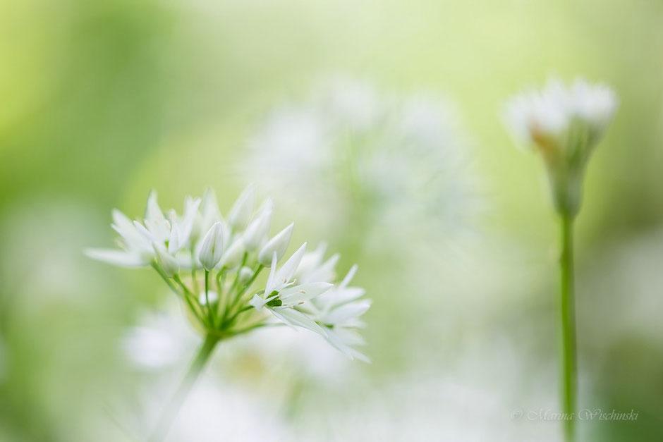 Bärlauchblüte (Allium ursinum) mit Knospe im HIntergrund