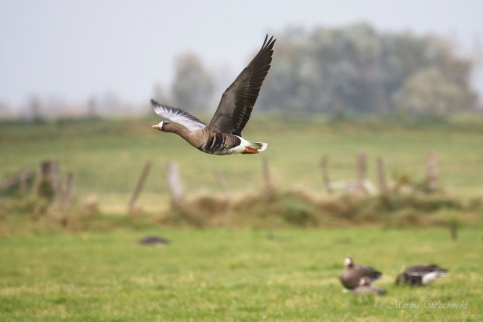Fliegende Blässgans über der Weidefläche...