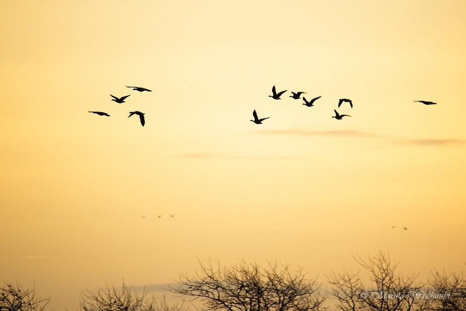 Einflug der Wildgänse bei Sonnenaufgang...