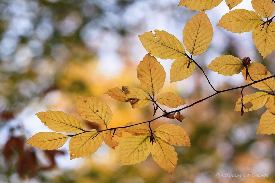 Herbstlich gefärbte Buchenblätter