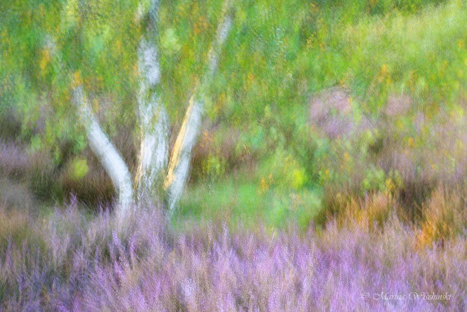 Birke in der Heide