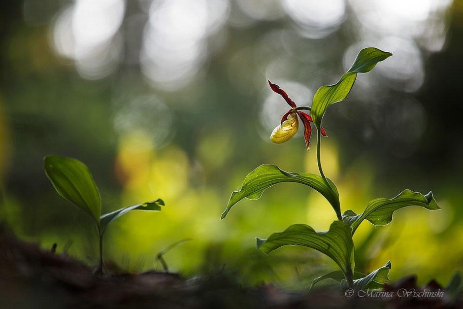 Gelber Frauenschuh (Cypripedium calceolus) im Lichtregen
